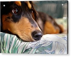 Patient Dachshund  Acrylic Print by Carmen Del Valle