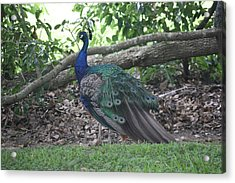Acrylic Print featuring the photograph Peacock by Donna  Smith