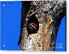 Peeking Out Acrylic Print by Barbara Bowen