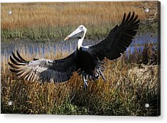 Pelican Wings Acrylic Print by Paulette Thomas