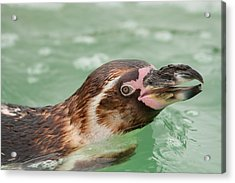 Penguin Acrylic Print by Tom Gowanlock