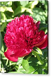 Acrylic Print featuring the photograph Peony by Rebecca Overton