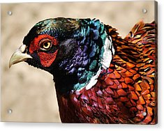 Pheasant Acrylic Print by Paulette Thomas
