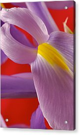 Photograph Of A Dutch Iris Acrylic Print