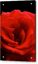 Photograph Of A Red Rose Acrylic Print