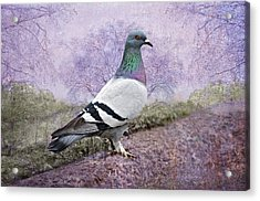 Pigeon In The Park Acrylic Print by Bonnie Barry