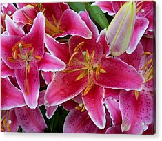 Pink Lilies With Water Droplets Acrylic Print
