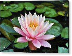 Pink Lotus Acrylic Print by Sumit Mehndiratta