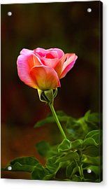 Pink Rose Acrylic Print by James Steele