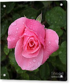Pink Rose Macro Shot With Rain Drops Acrylic Print