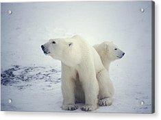 Polar Bear And Cub Acrylic Print by Chris Martin-bahr