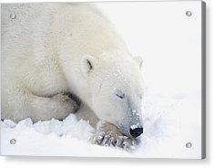 Polar Bear Ursus Maritimus Has His Eyes Acrylic Print by Richard Wear