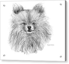 Acrylic Print featuring the drawing Pomeranian by Jim Hubbard