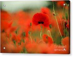 Poppy Flowers 01 Acrylic Print