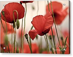 Poppy Flowers 04 Acrylic Print by Nailia Schwarz