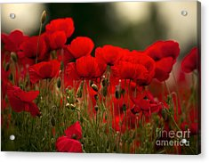Poppy Flowers 05 Acrylic Print by Nailia Schwarz