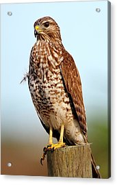 Portrait Of A Red Shouldered Hawk Acrylic Print