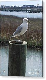 Posing Seagull Acrylic Print by Gordon Mooneyhan