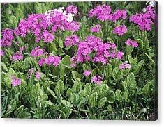 Primrose Flowers (primula Patens) Acrylic Print by Dr. Nick Kurzenko