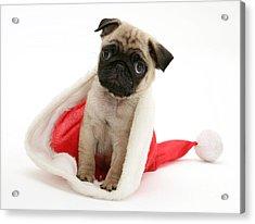 Pug Puppy Acrylic Print by Jane Burton
