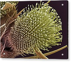 Pulvilli On A Fly's Foot, Sem Acrylic Print by Steve Gschmeissner