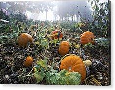 Pumpkin Patch, British Columbia Acrylic Print by David Nunuk