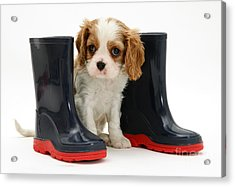 Puppy With Rain Boots Acrylic Print by Jane Burton