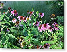 Purple Coneflowers Acrylic Print by Theresa Willingham