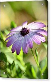 Purple Daisy  Acrylic Print by Saija  Lehtonen