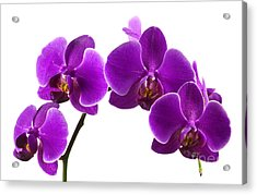 Purple Orchids Acrylic Print by Blink Images