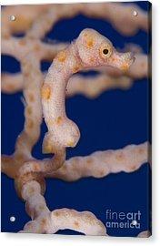 Pygmy Seahorse On Sea Fan, Papua New Acrylic Print by Steve Jones