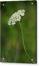 Queen Anne's Lace Acrylic Print by Rick Rauzi