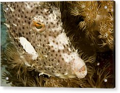 Radial Leatherjacket Filefish Acrylic Print by Tim Laman