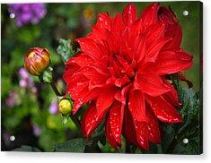 Rain And Red Dahlia Acrylic Print by Ronda Broatch