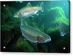 Rainbow Trout Oncorhynchus Mykiss Pair Acrylic Print