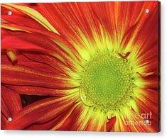 Red Daisy Acrylic Print by Sabrina L Ryan
