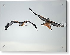 red Kites. Acrylic Print by Andrew Chittock
