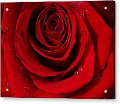 Red Rose Of Love  Acrylic Print