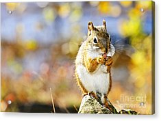 Red Squirrel Acrylic Print by Elena Elisseeva