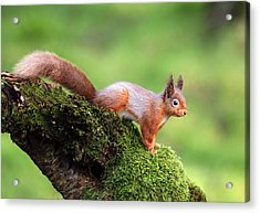 Red Squirrel Acrylic Print by Grant Glendinning