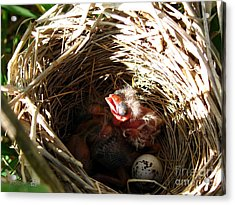 Red-winged Blackbird Babies And Egg Acrylic Print by J McCombie