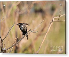 Acrylic Print featuring the photograph Red-winged Blackbird by Jack R Brock