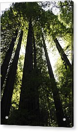Red Woods Acrylic Print by Paul Plaine