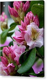 Rhododendron In Bloom Acrylic Print by Valia Bradshaw