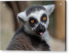 Ring Tailed Lemur Acrylic Print by Julie L Hoddinott