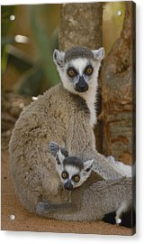 Ring-tailed Lemur Lemur Catta Mother Acrylic Print by Pete Oxford