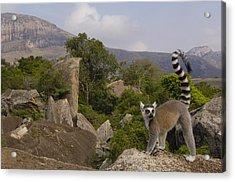 Ring-tailed Lemur Lemur Catta Portrait Acrylic Print by Pete Oxford