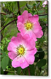 Roses (rosa Sp.) Acrylic Print by Tony Craddock