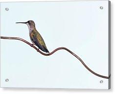 Ruby Throated Hummingbird Acrylic Print by Jim McKinley