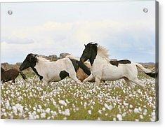 Running Horses Acrylic Print by Gigja Einarsdottir